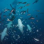 Bull sharks,  [Fiji, 2014]