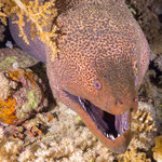 Giant moray (Gymnothorax javanicus), Elphinstone [Egypt, 2014]