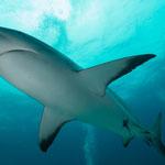 Grey reefshark [Bahams, 2014]