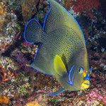 Queen Angelfish (Holacanthus ciliaris), Yonaguni [Japan, 2015]