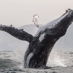 Breaching humpback whale, Port St Johns [South Africa, 2015]