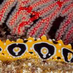 Phyllidia ocellata nudibranch, Hienghene [New Caledonia, 2014]