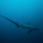 Thresher shark, Malapascua [Philippines, 2015]