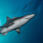 Oceanic blacktip shark, Protea Banks [South Africa, 2015]