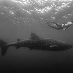 Whale shark, Padre Burgos [Philippines, 2015]