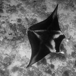 Manta Rays, North Pass, Fakarava [French Polynesia, 2014]