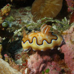 Chromodoris coi nudibranch [Palau, 2008]