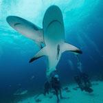 Grey reefsharks [Bahams, 2014]