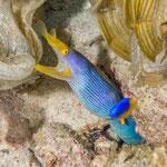 Blue ribbon eel, Calodyne [Mauritius, 2015]