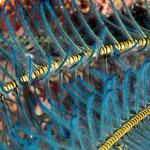 Close-up Feather star arms [Fiji, 2014]