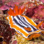 Chromodoris magnifa nudibranch, Cabilao [Philippines, 2015]