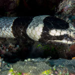Sea snake, Ile des pines [New Caledonia, 2014]