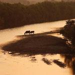 夕涼みする牛の親子【当別川  当別町】