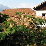 Albizzia, Seidenbaum, schirmförmige Krone