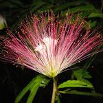 Albizzia, Seidenbaum Blüte