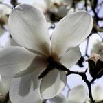 Magnolia loebneri, 'Margret Merryll'