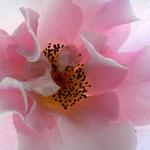 Camellia, Kamelie Hagoromo