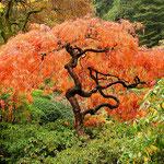 Acer japonicum Dissectum, Jap. Ahorn