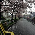 通勤途中の桜並木