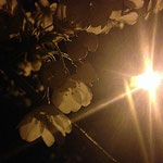 太宰府市政庁跡の夜桜です。