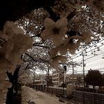 2日間の雨にも負けず、桜満開です。
