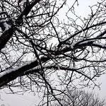 桜の木も冬化粧です。