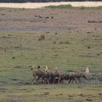 捕獲したインパラに群がっているリカオンたち
