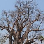 ビックツリーと呼ばれている樹齢1500年のバオバウの木(ヴィクトリアファールズ国立公園の手前)