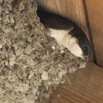 Mehlschwalben-Nest (Bild: Rosl Roessne, LBV Bildarchiv)