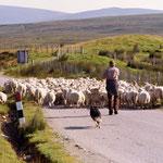 Mehr Schafe als Autos