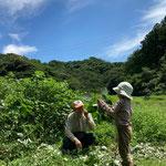 7月26日 すずきくにえ撮影 「カラムシ収穫1」 寺前谷戸