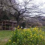 3月27日 小菅純撮影 「春のサクラ広場」 上山口寺前谷戸