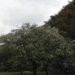 伊藤 咲子「霧雨の寺前谷戸」 2015年04月07日 場所:寺前谷戸