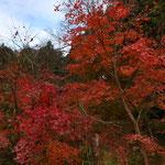 12月12日 小菅純撮影 谷戸の紅葉(4) 大沢谷