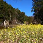 3月20日 小菅純撮影 「大沢谷の菜の花畑」 上山口木古庭大沢谷
