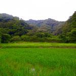 2016年7月17日撮影 小菅純 「ネムノキ」 寺前谷戸