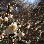 小菅 純 「ウメ」 2014年02月28日撮影 場所:寺前谷戸