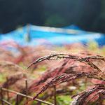9月22日 すずきくにえ撮影 谷戸の赤米 寺前谷戸