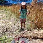 6月4日 伊藤理津子撮影 「麦の収穫2」 寺前谷戸
