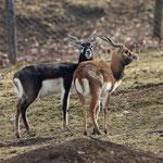 Tierpark Herberstein, Steiermark, Österreich Februar 2021