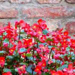Rote Grazien zieren die Mauer