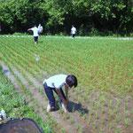 津の宮:多月さんも初体験裸足で田んぼの草取り2012.6.27
