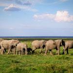 elefanti Amboseli