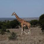 giraffa safari kenya in2kenya