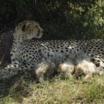 ghepardo con cuccioli ghepardo masai mara in2kenya