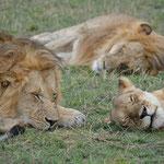 lion pride masai mara in2kenya