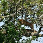 leopardo masai mara in2kenya