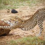 ghepardo-Tsavo-Est-in2kenya