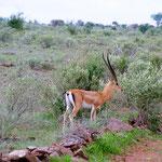 gazzelle-tsavo-est