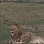 lion leone safari in2kenya safari watamu kenya